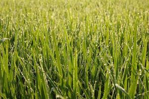 risfält foto
