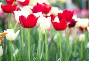 tulpaner blommar i parken foto