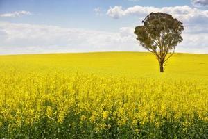 australiensiskt gummiträd i fält av canola foto