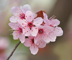 plommon blommar