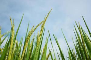 risterrassfält på landsbygden vid Mae Chaem, Thailand. foto