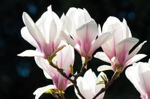 våren magnolia blommor foto