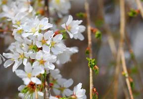 körsbärsblommor. vita blommor foto