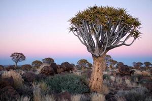 kvisterträd i skymningen