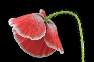 röd valp foto