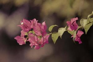 exotiska rosa bougainvilleas foto