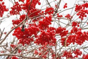 viburnum bär på hösten