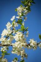 vita trädblommor på våren