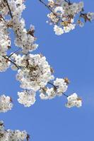 vacker vårblomning med blå himmel