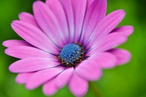 vacker lila krysantemumblomma