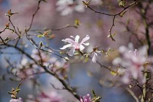 blommande magnoliaträd foto