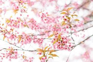 sakura blomma foto