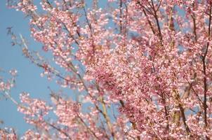 vild himalaya körsbär, prunus cerasoides foto