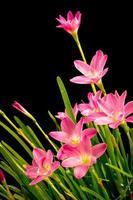närbild, blekrosa, amaryllisblomma, svart bakgrund, stora blommor.