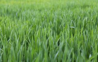 enormt grönt vetefält med fortfarande små plantor på våren