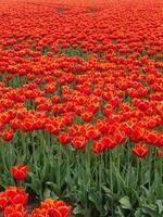 fält av eldröda och orange färgade tulpaner