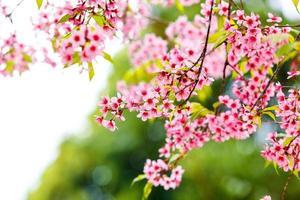 vild himalayan körsbärs vårblomning foto