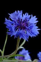 vacker blåklint