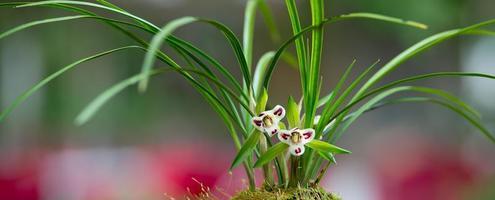 vild Orkide foto