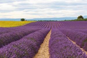 lavendel fält nära valensole i Provence, Frankrike. foto