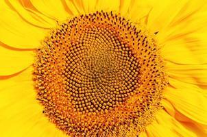 centrala delen av solrosen foto