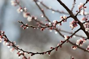 vårträd i blom foto