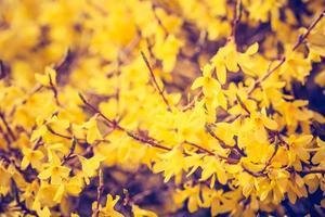 vintage foto av blommande forsythia