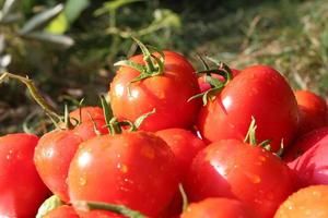 hög med röda tomater