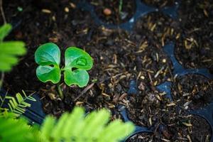 unga färska plantor står i plastkrukor. foto