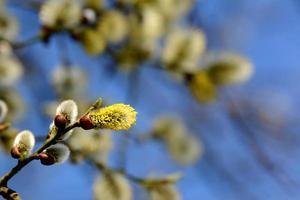 Willow Tree Catkins öppning foto