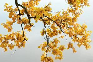 gula blad på tydlig bakrunda foto