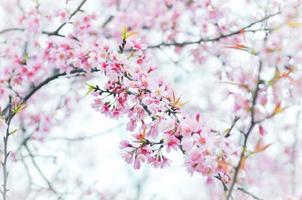 sakura, körsbärsblom foto