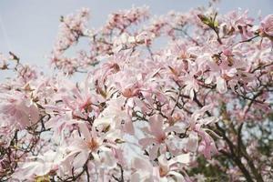 stjärna magnolia, selektiv fokus foto