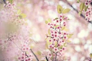 sakura körsbärsblommablommor foto