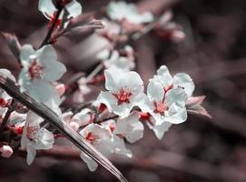 körsbärsblommor. foto