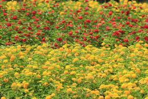vanliga lantana blommor foto
