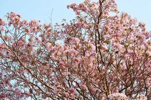 rosa blommor tabebuia rosea blossom foto