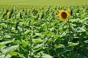 solros gård