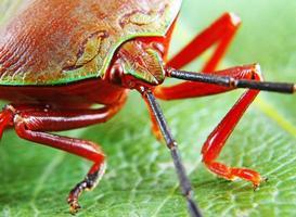 vacker grön och röd stinkbugg