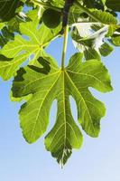 fikonblad, blå himmel foto