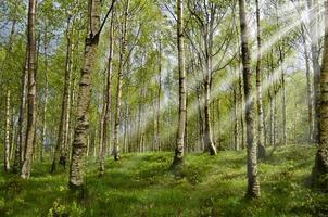 björkskog med solstrålar foto