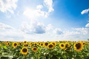 solros med blå himmel och himmel. sommarlandskap foto