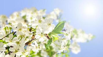 äppleblommor och blå himmel foto