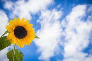 solrosor mot en blå himmel foto