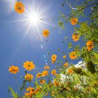 gula blommor mot himlen foto