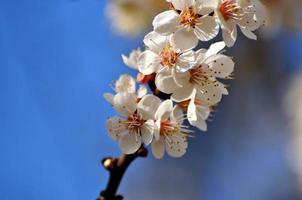 aprikosblomning mot blå himmel foto