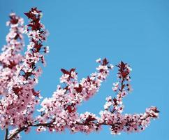 körsbärsblom. sakura och himmel foto