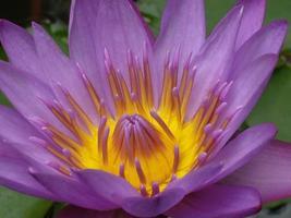 den vackra lotusblomman foto