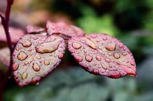 daggdroppar på bladen