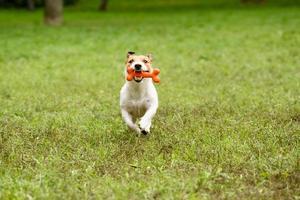 hund som kör med ben vid tänderna. foto